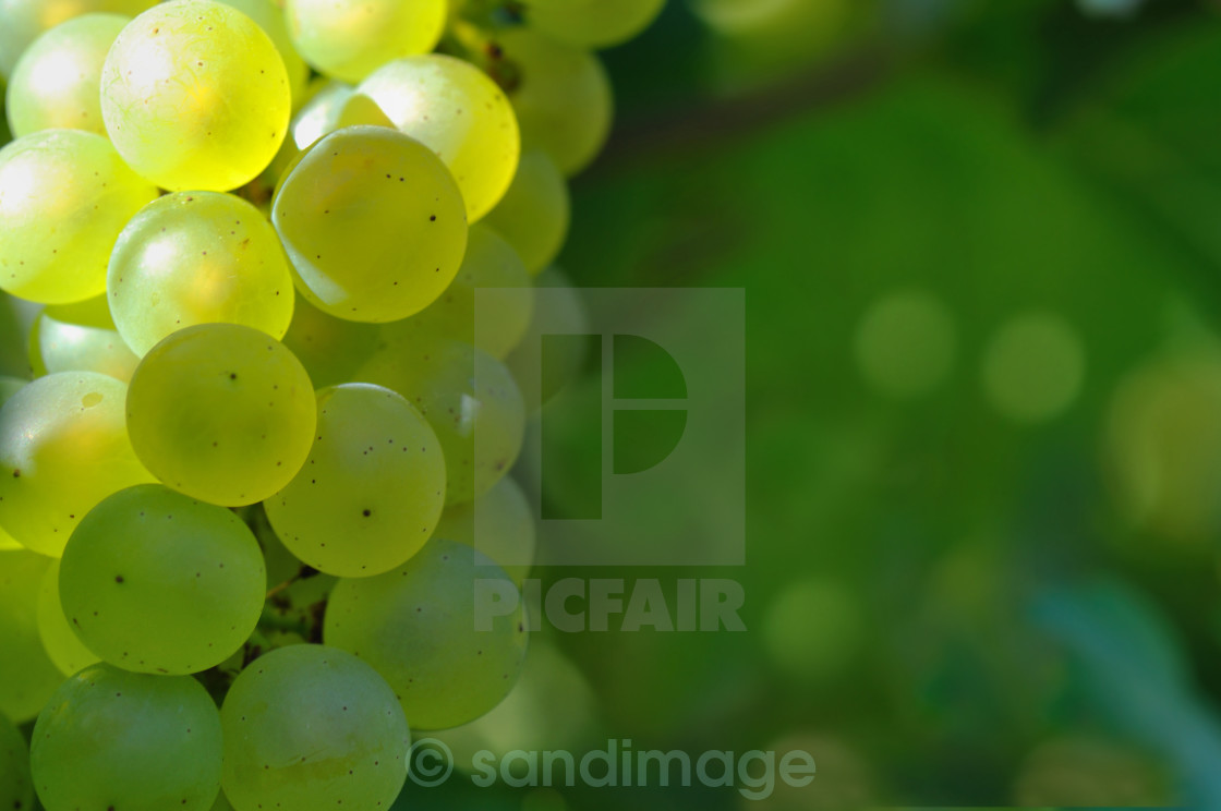 """close on white grape"" stock image"