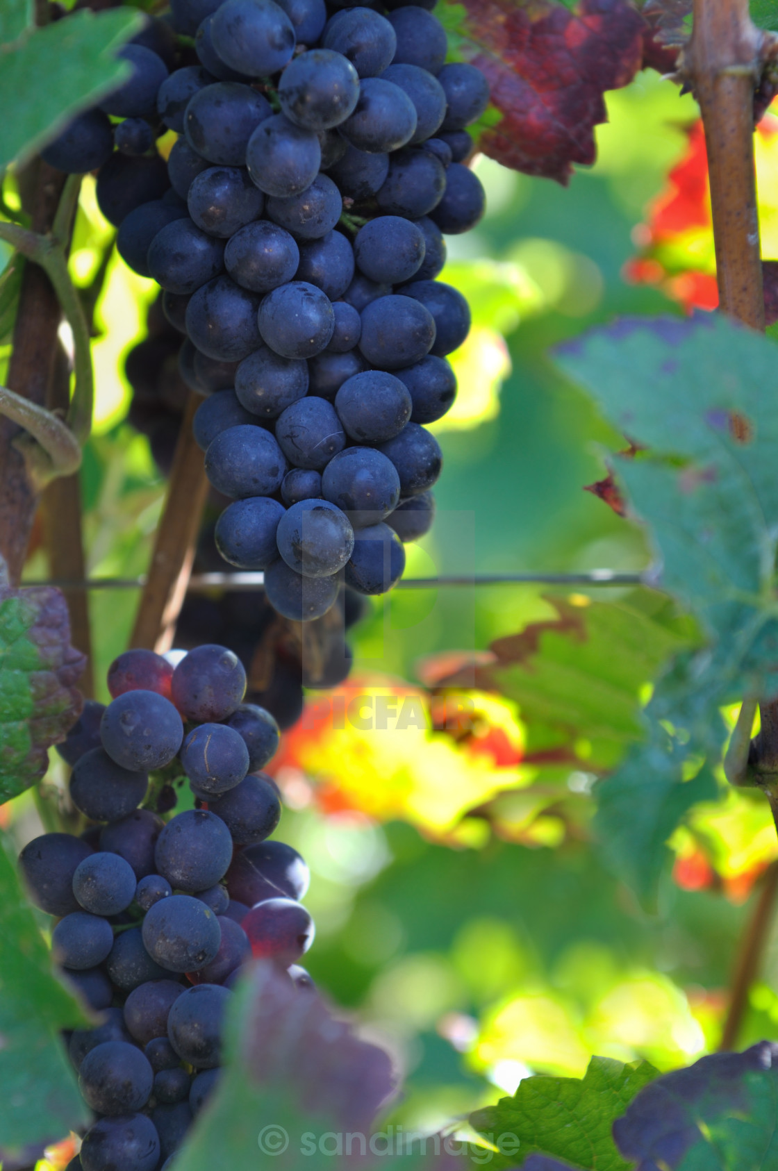 """black grapes"" stock image"