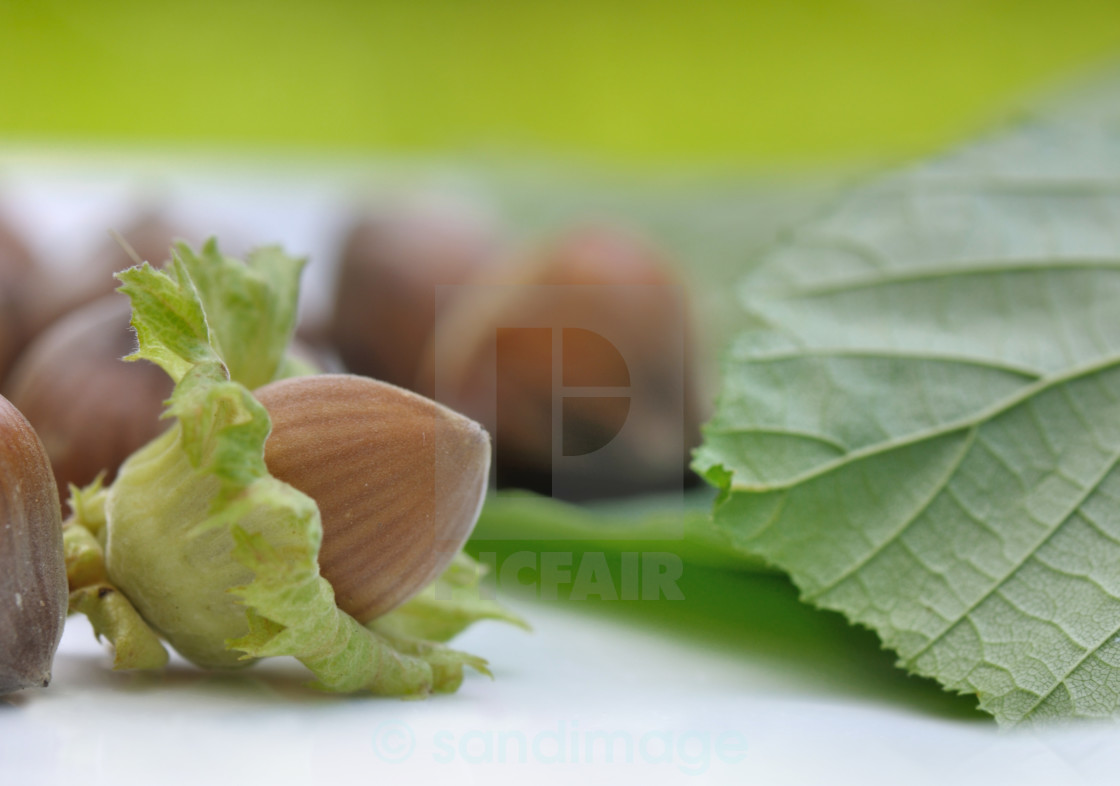 """""""fresh hazelnuts"""" stock image"""