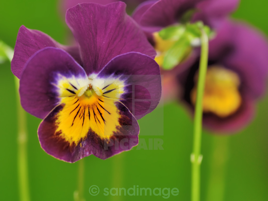 """""""pretty violet pansy"""" stock image"""