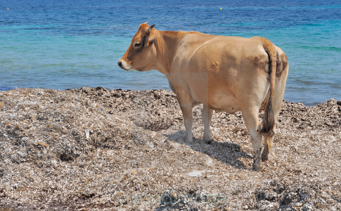 """cow on the beach"" stock image"