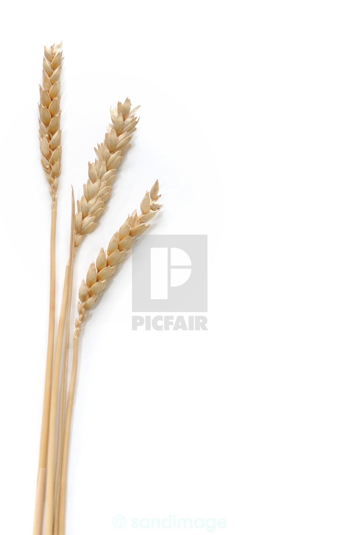 """three strands of wheat"" stock image"
