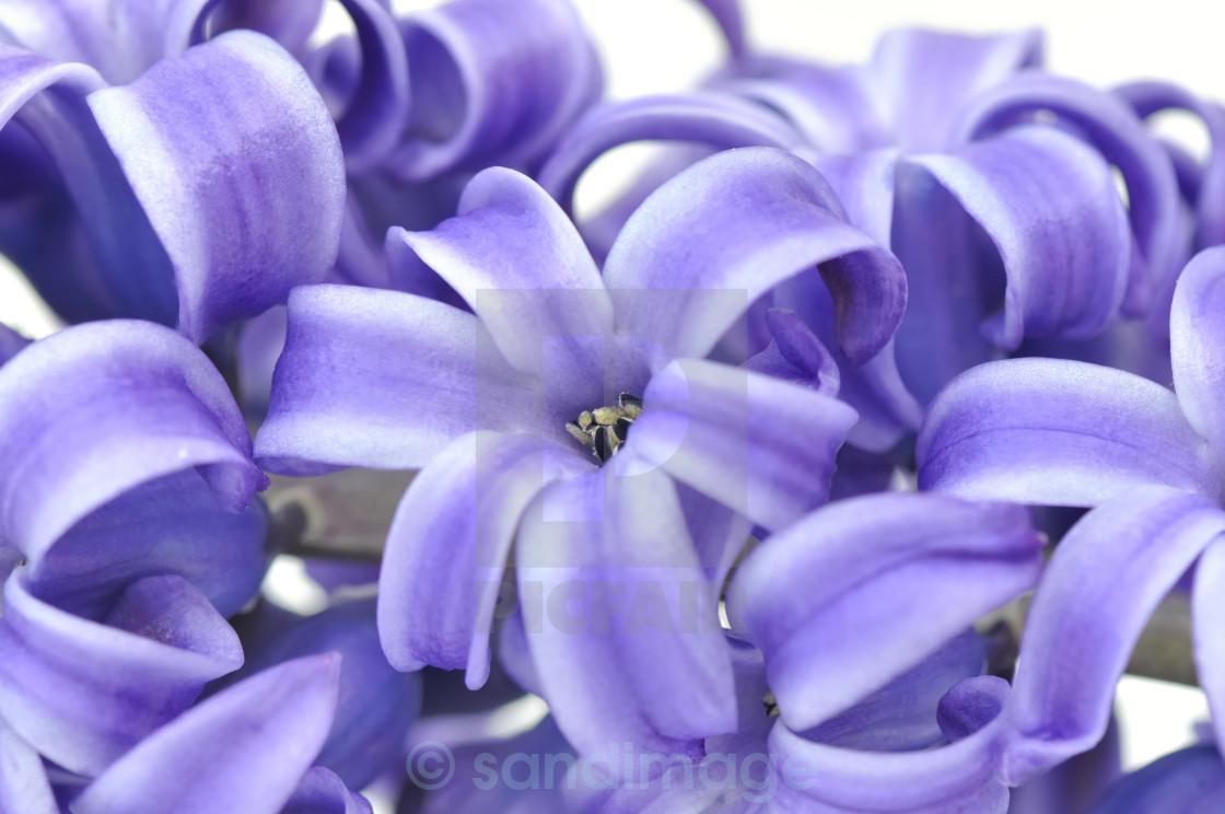 """flower of hyacinthe"" stock image"
