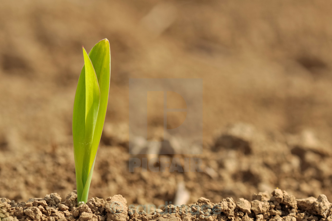 """""""young sprout of corn"""" stock image"""