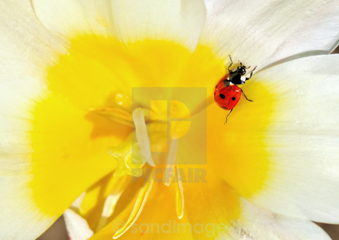 """little beetle on a flower"" stock image"