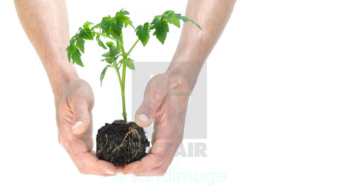 """a seedling tomato"" stock image"