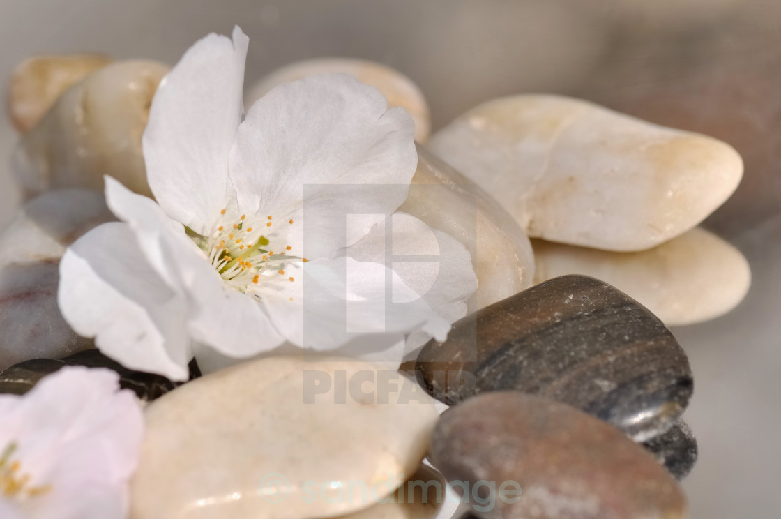 """""""delicate cherry blossom on pebbles"""" stock image"""