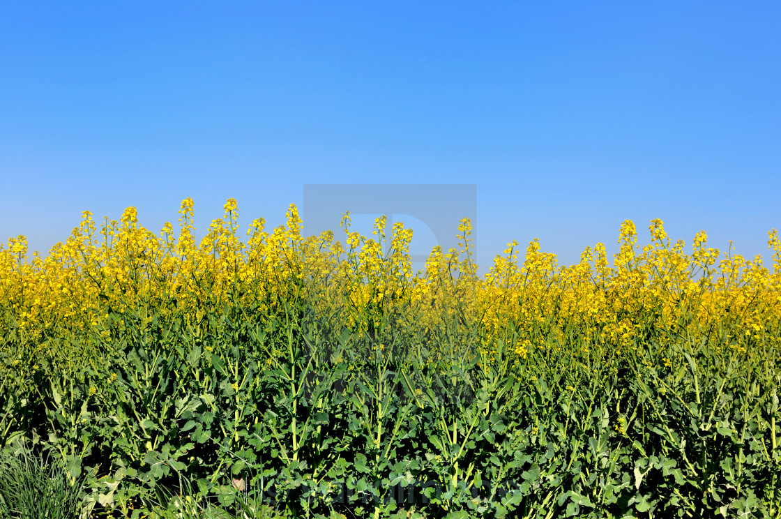 """rapeseed field"" stock image"