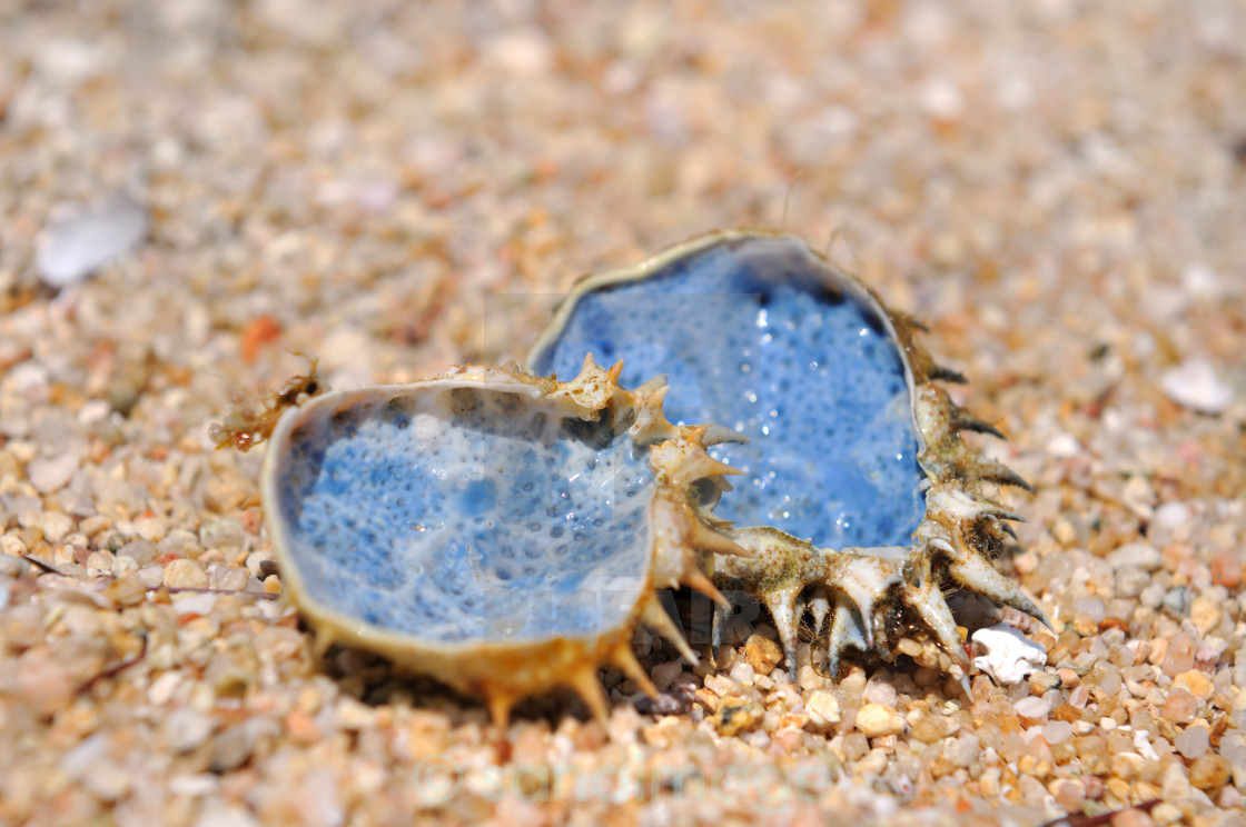 """""""blue shell on the beach"""" stock image"""