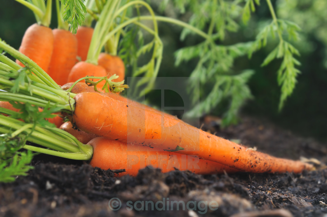 """carrots in garden soil"" stock image"