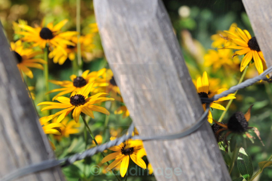 """""""flowers and fence"""" stock image"""