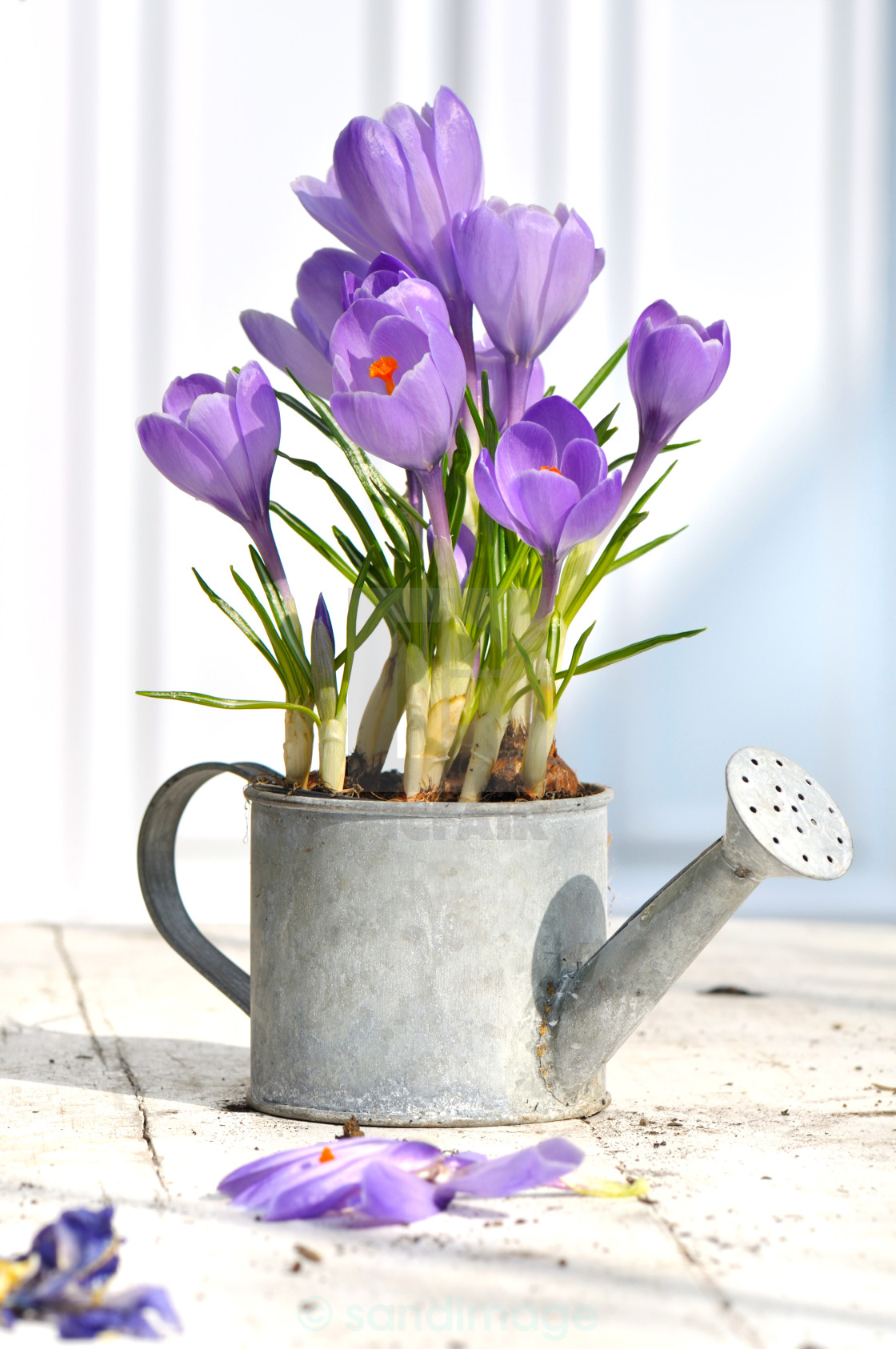 """decorative crocus on terrace"" stock image"