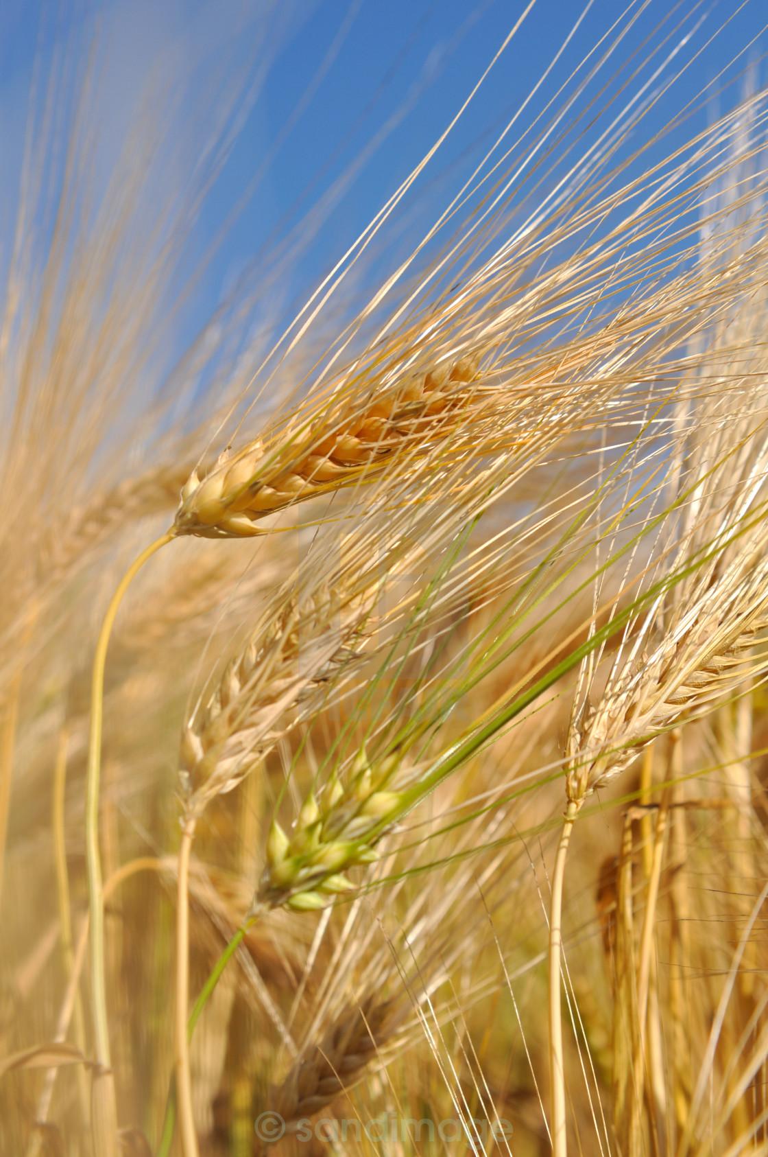 """closeup on wheat"" stock image"
