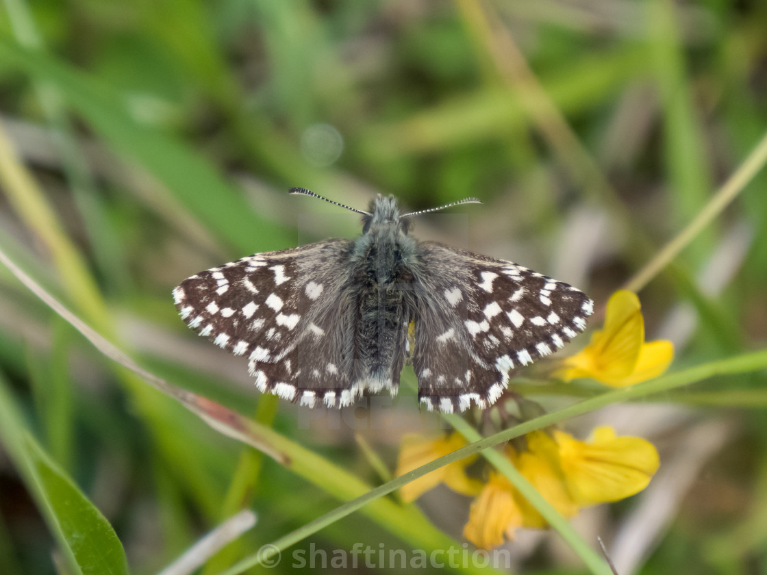 """Grizzled Skipper butterfly (Pyrgus malvae) basking warming up on chalkland down"" stock image"