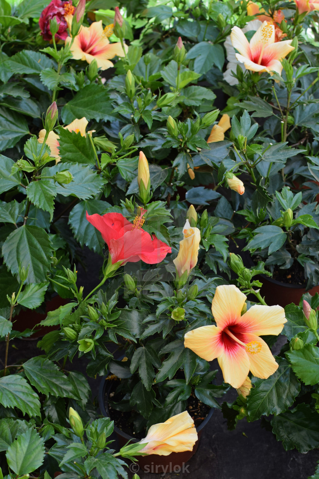 Colorful Hibiscus Flowers License Download Or Print For 620