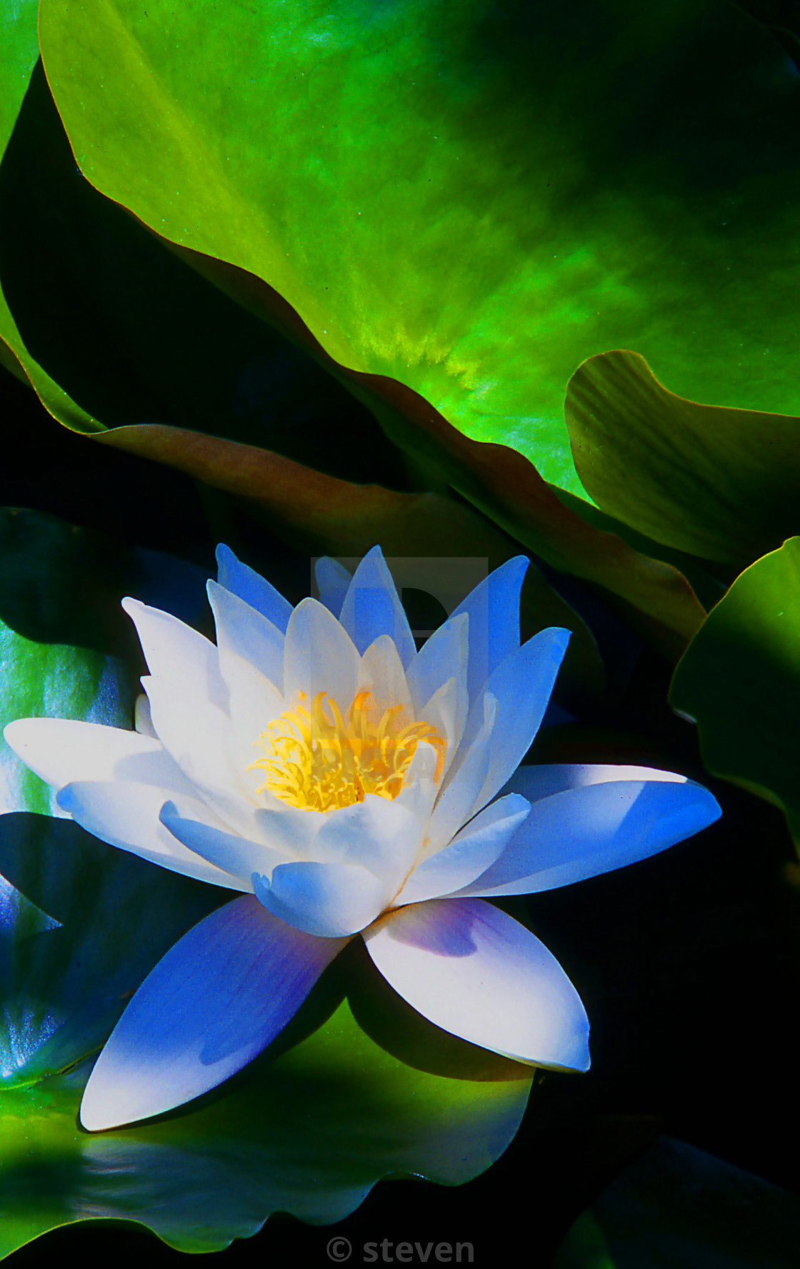 """""""American White Lily"""" stock image"""