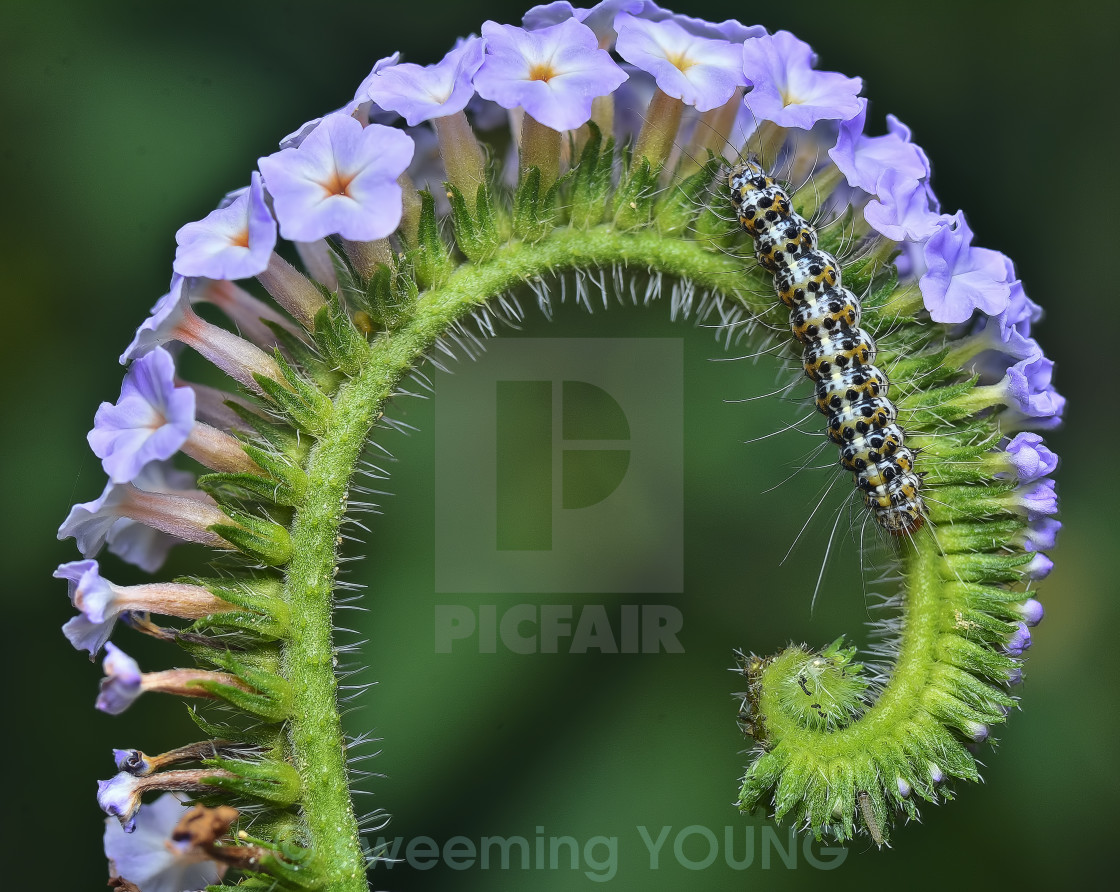 """purple petal"" stock image"
