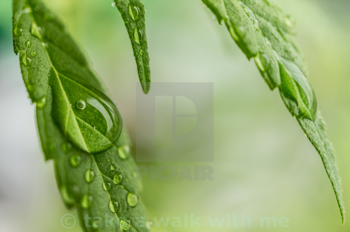 """Hemp"" stock image"