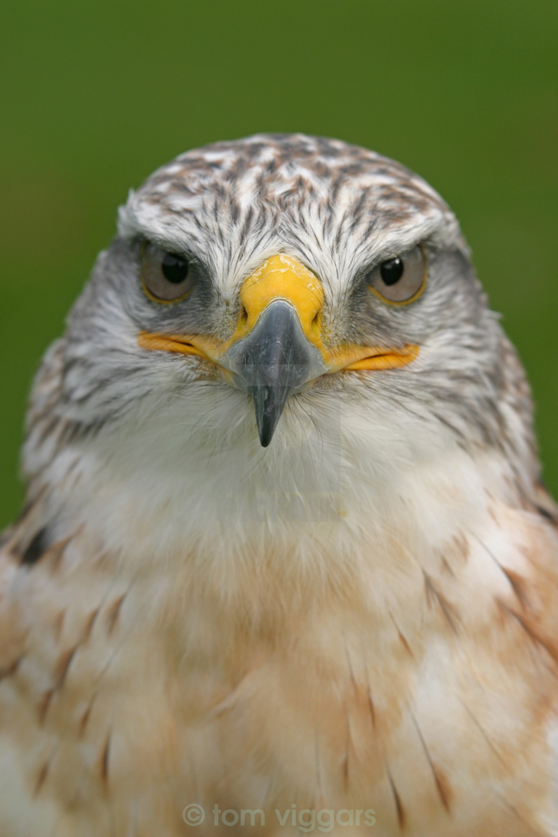 """ferruginous hawk"" stock image"