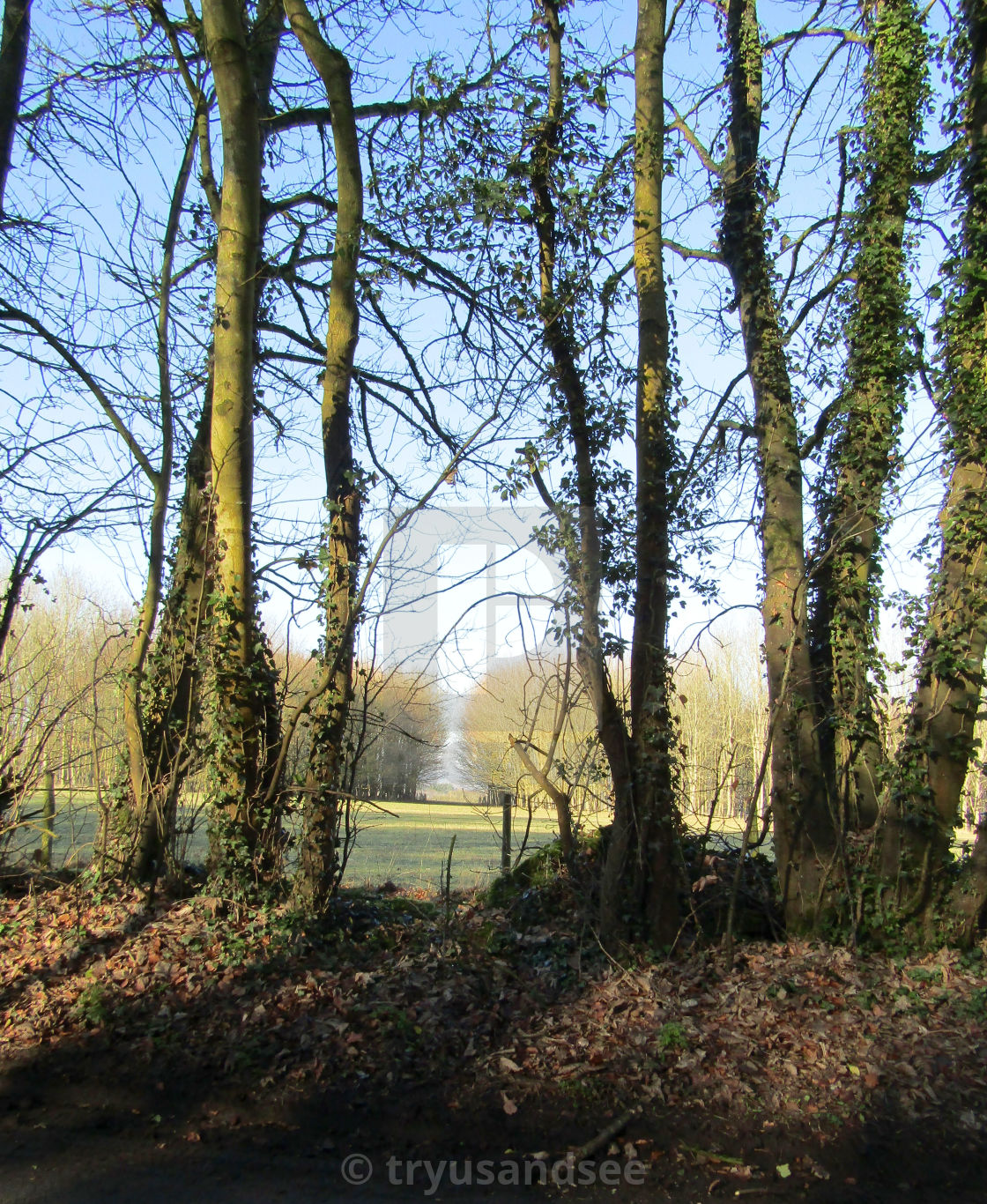 Tall standing trees in Cotswolds
