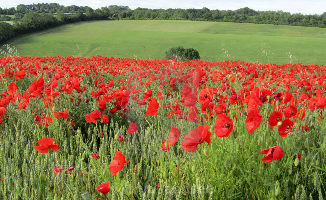 red poppies and daisies in field