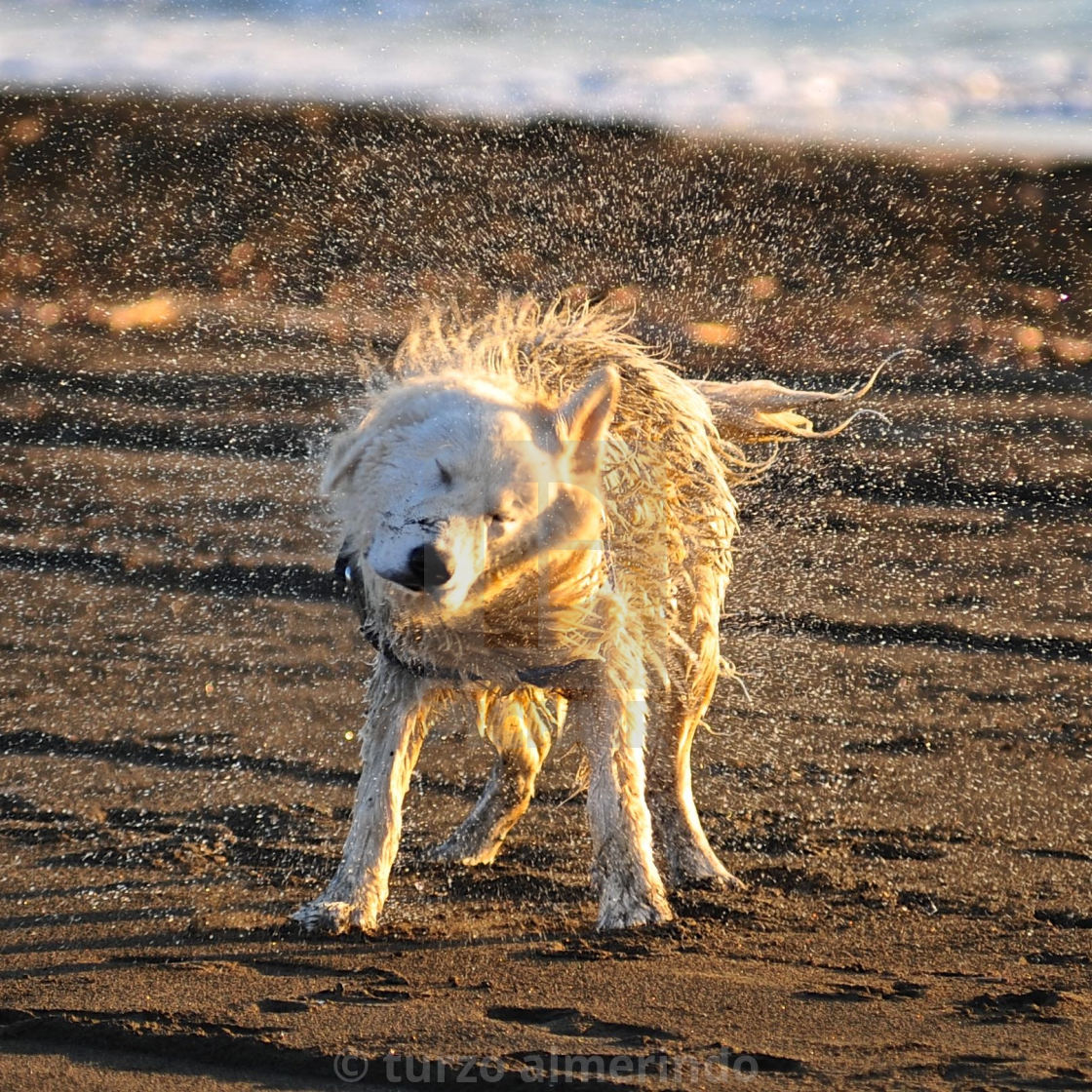 """Shaking dog"" stock image"