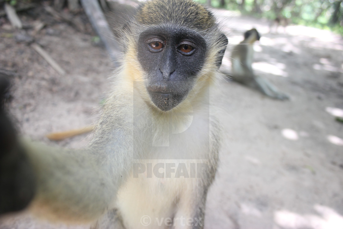 """Monkey Selfie"" stock image"