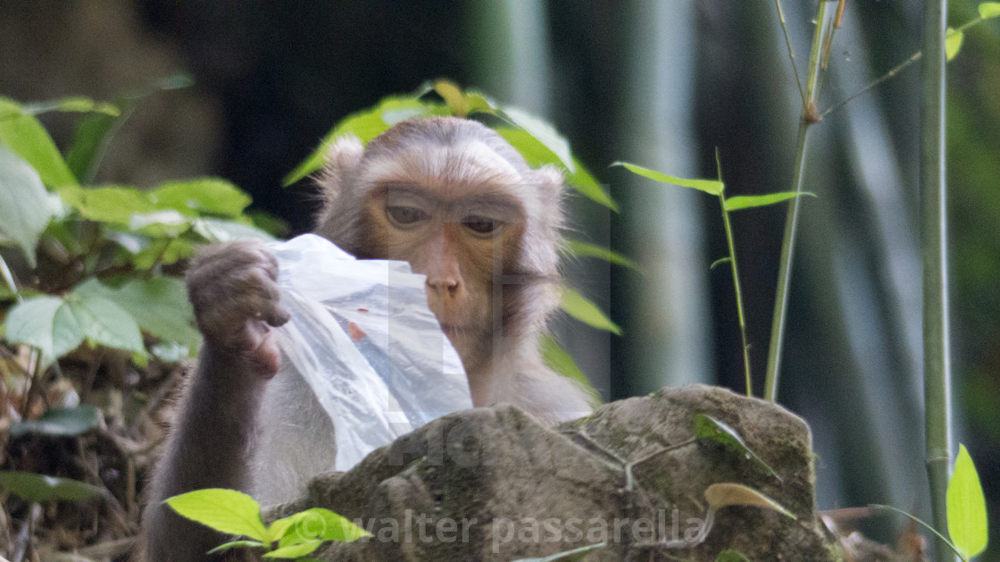 """Monkey with plastic bag"" stock image"