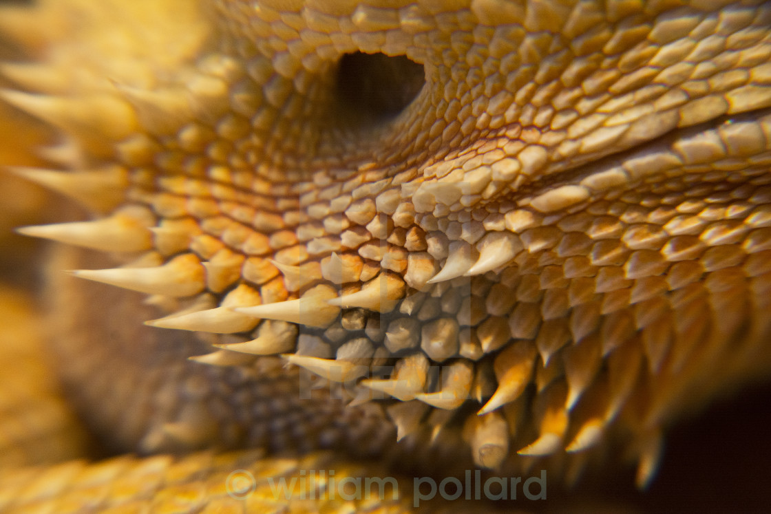 """thorny dragon"" stock image"