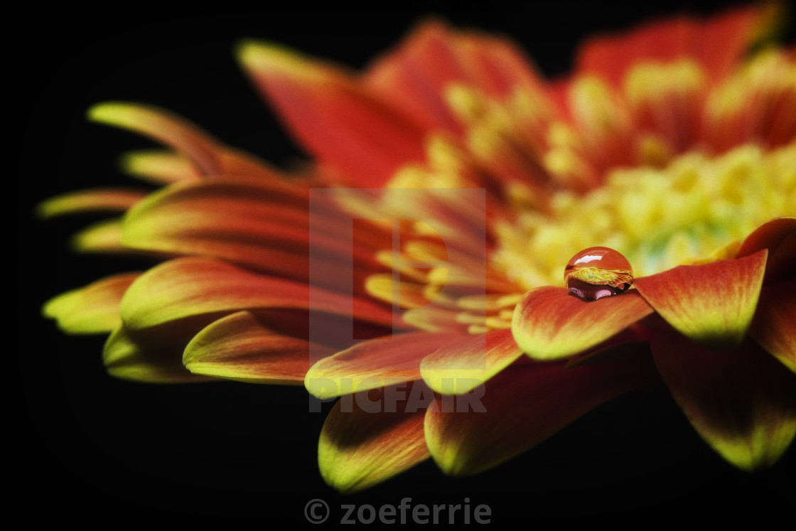 """Waterdrop on the petal of a orange Gerbera Daisy"" stock image"