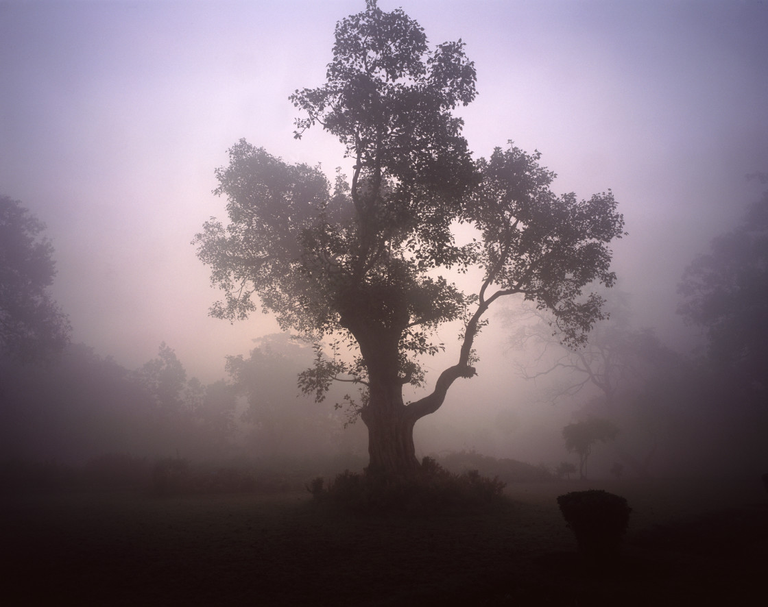 """Tree in the fog, Saravasti, India"" stock image"