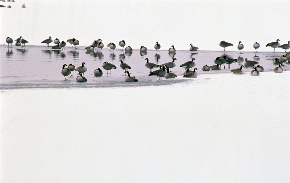 """""""Canadian geese by water hole in the snow"""" stock image"""