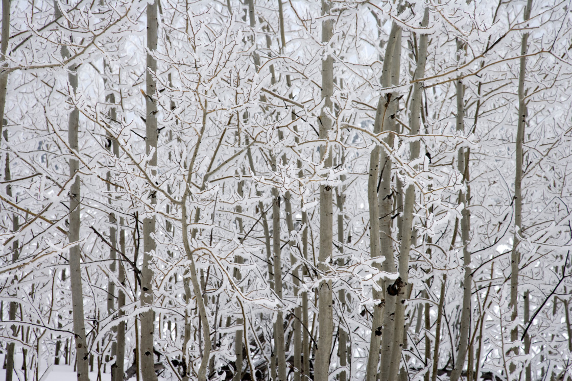 """Ice covered aspen trees"" stock image"