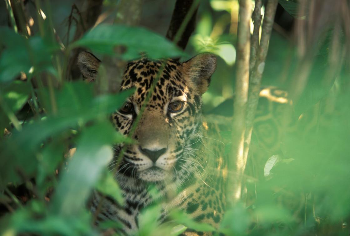"""Jaguar, Belize-6628"" stock image"