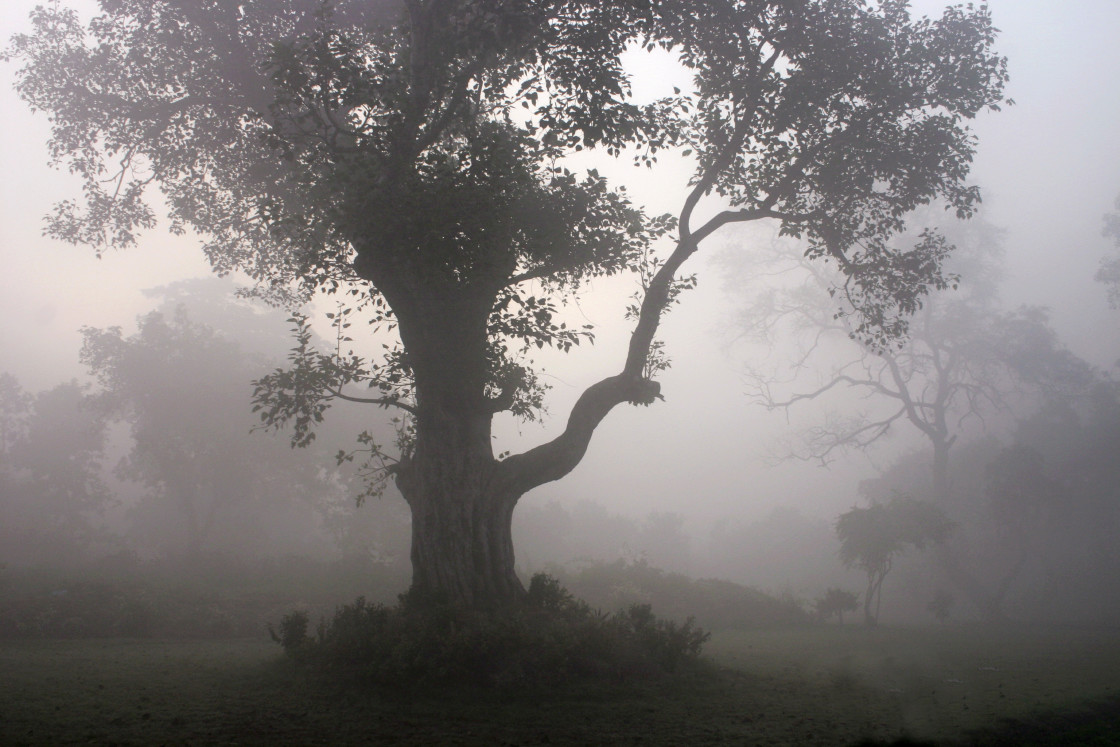 """Trees in the fog, Sarvasti, India"" stock image"