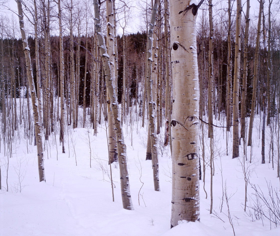 """Aspen trees, Colorado"" stock image"
