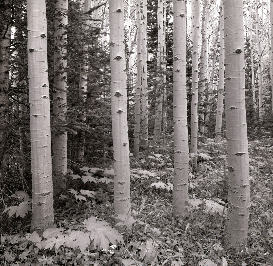 """Aspen trees 2 in summer, CO"" stock image"