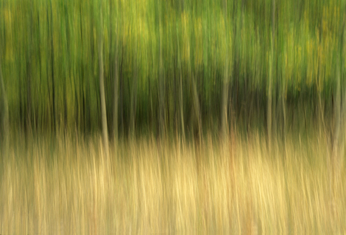 """Aspen tree abstract"" stock image"