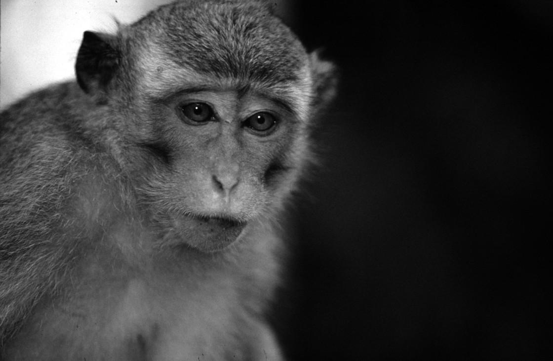 """""""Macaque monkey"""" stock image"""