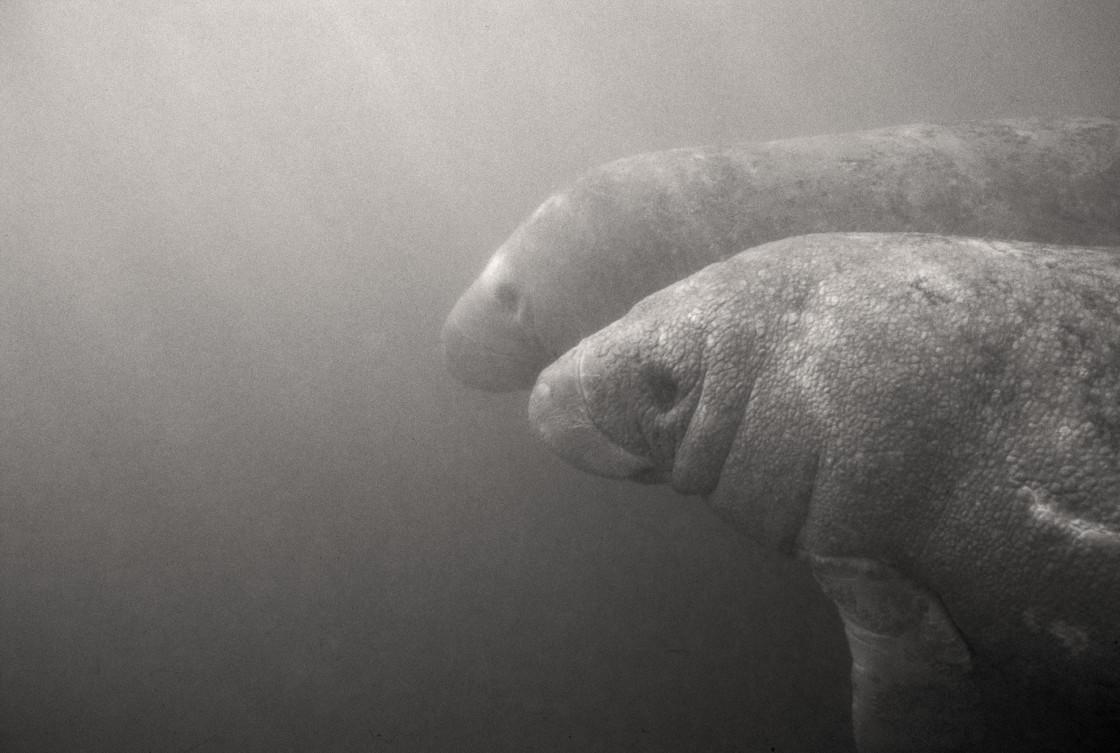 """Two manatees, Crystal River, Florida"" stock image"