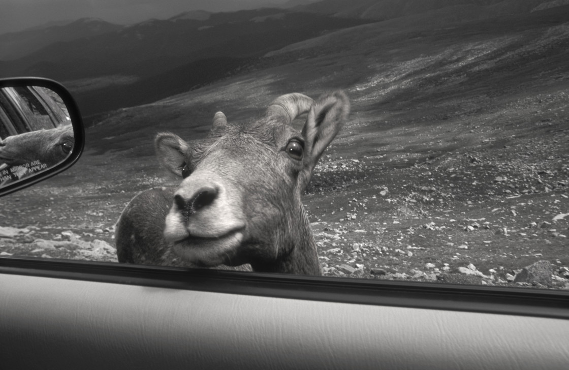 """Mountain sheep, Mt. Evans"" stock image"