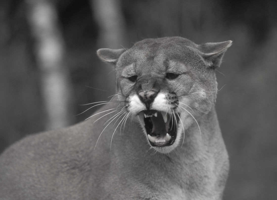 """Mountain Lion growling, Colorado, USA"" stock image"