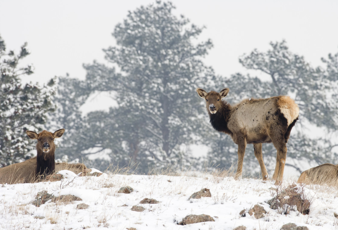 """Two female elk, Colorado"" stock image"