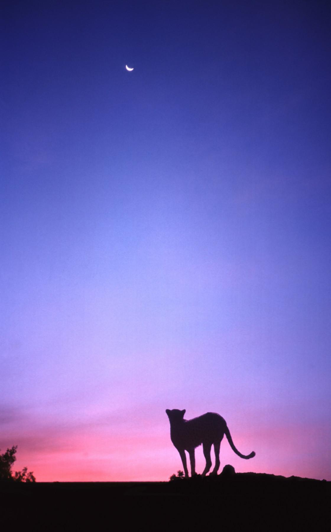 """Cheetah, sunset, Masai Mara, Africa"" stock image"