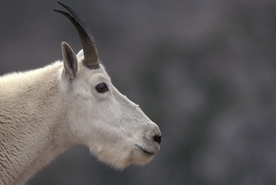 """Mountain goat"" stock image"