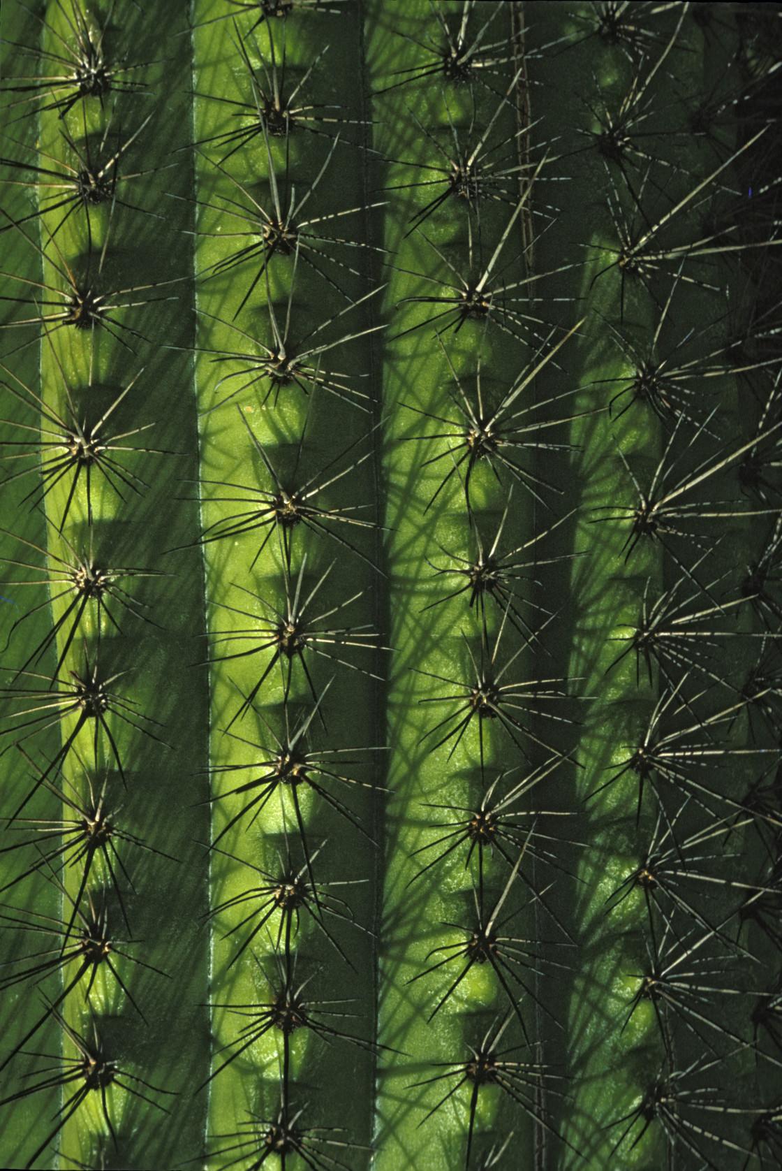 """Saguaro Cactus"" stock image"