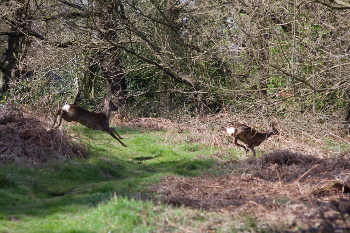 """""""Roe Deer Sprint"""" stock image"""