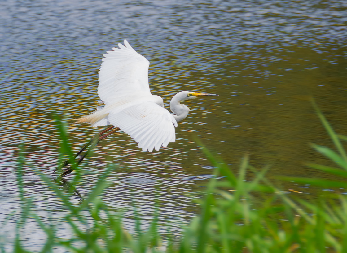 """Great Eastern Egret Skimming"" stock image"