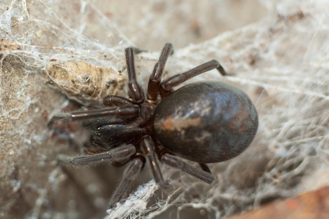 """Black Lace Weaver Spider (Amaurobius ferox)"" stock image"