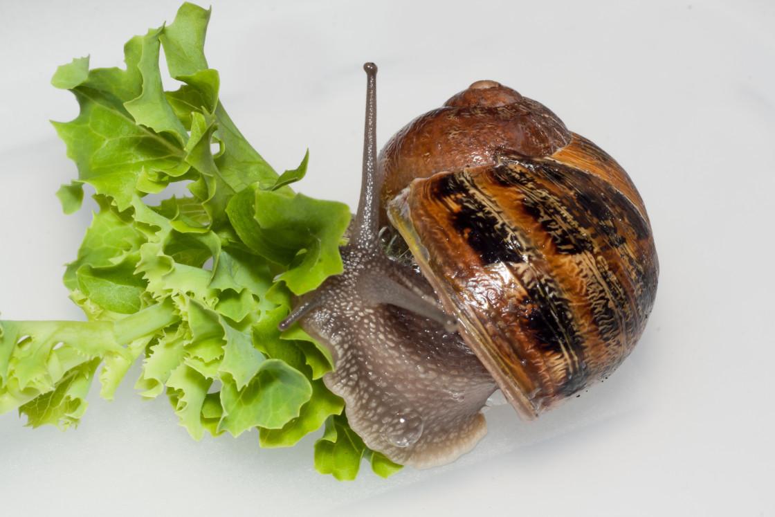 """Brown Garden Snail"" stock image"